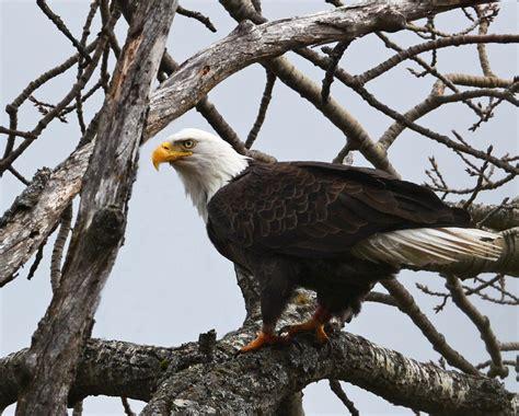 bald eagle recovery  vermont audubon vermont