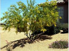 PLANT OF THE MONTH PALO VERDE Water Use It Wisely