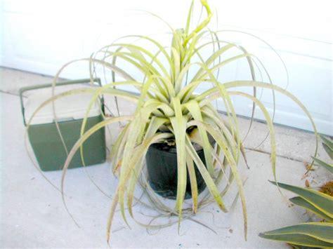 air plant seeds tillandsia utriculata a giant endangered air plant 30 seeds