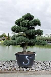 freilandbonsai kaufen pinus bonsai kiefern bonsai alle With garten planen mit pinus bonsai kaufen