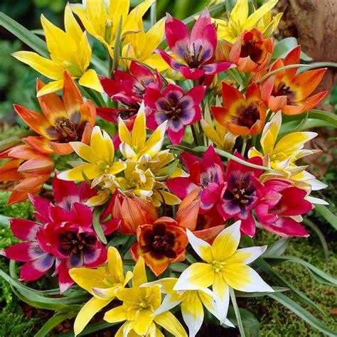van zyverden tulips bulbs perennial mixture set