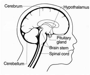 brain structures and functions part i video lesson With definition function diagram video lesson transcript studycom