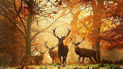 Wild Deer Animals Desktop Animal Elk Fall