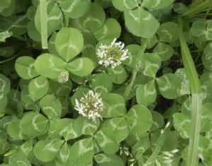 Liste Mauvaises Herbes Jardin by Trefle Detruire Les Mauvaises Herbes Avec Un Desherbant