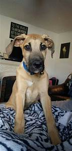 Great danes, Irish and Duke on Pinterest