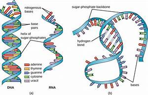 11 3 Structure And Function Of Rna  U2013 Microbiology  Canadian Edition