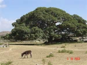Panoramio - Photo of Giant Sycamore tree near Segeneyti ...