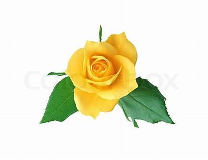 Yellow Rose Clipart Background Clipartmag Isolated