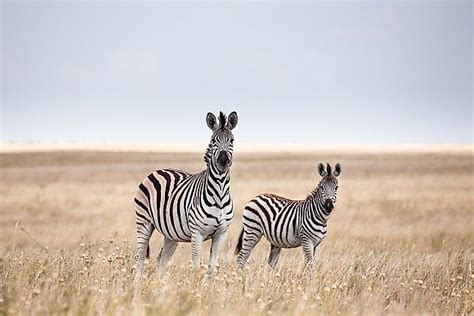 What Animals Live In Africa? WorldAtlas com