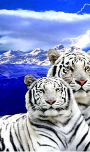 White Tiger Cubs With Blue Eyes Wallpaper | Eyes wallpaper ...