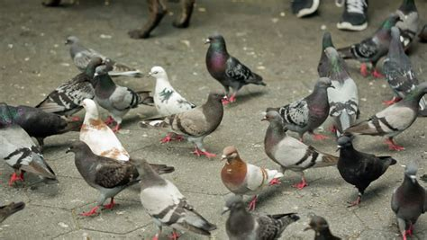 pigeons peck at crumbs on urban square stock footage video