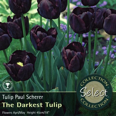 bulbs tulip paul scherer bulbs for sale mail order