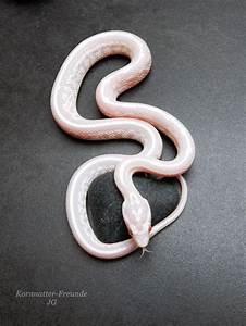 81 Best Unsere Kornnattern Images On Pinterest Snake