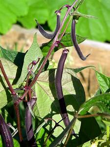 Growing Bush Beans  How To Plant Bush Beans In The Garden