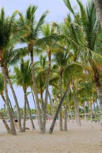 Beach Palm Trees On Kona Hawaii