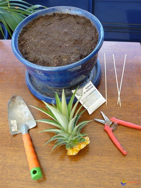 planter un ananas en pot planter un ananas voor in de tuin