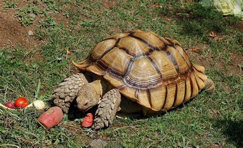 Geochelone Sulcata -oakland Zoo -feeding-8a.jpg