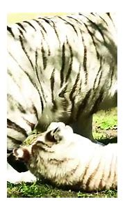 Life of white tigers in jungle live. - YouTube