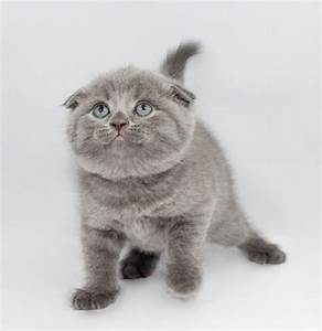 Scottish Folds and British Shorthair Kittens for Sale ...
