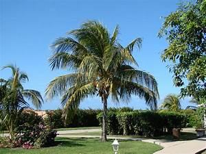 Coconut tree in garden