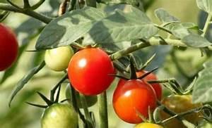 Comment Tuteurer Les Tomates : tuteur a tomate tuteurs pour tomates with tuteur a tomate ~ Melissatoandfro.com Idées de Décoration