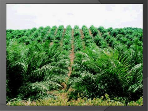 Konflik Antara Penjual Dengan Pembeli Perkebunan Kelapa