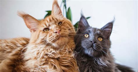 Check Out The 5 Most Popular Cat Breeds In The Us