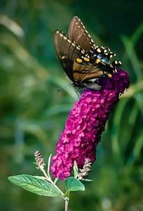 royal butterfly bush the tree center