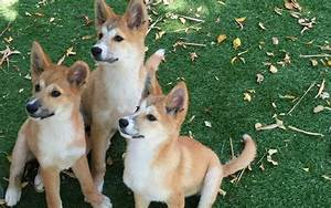 1000+ images about Animals - Dingos on Pinterest | Wild ...