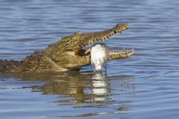 crocodile hunting south africa discount african hunts