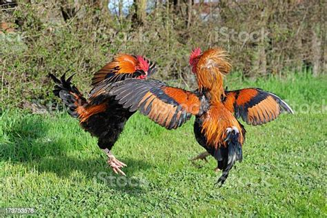 fighting roosters stock photo  image  istock