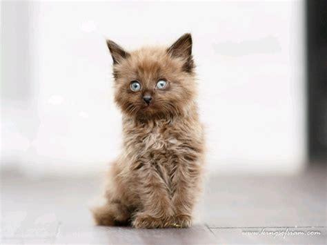 hypoallergenic chantilly tiffany kittens cats kittens
