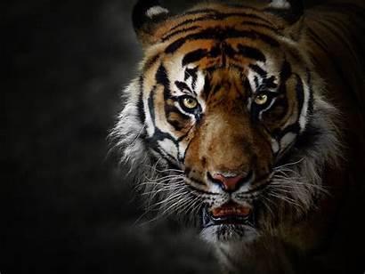 Tiger 4k Portrait Def Animal Cat Face