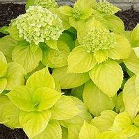 hydrangea lemon daddy lemon yellow leaves   hot