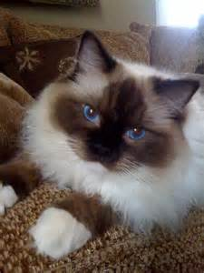 how much is a cat how much is a ragdoll cat best cat information 2017