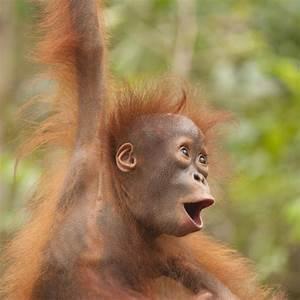 Orangutan Funny Quotes. QuotesGram