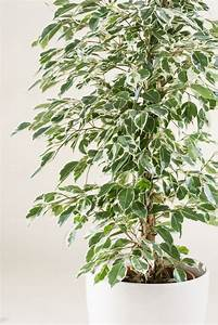 Ficus Benjamini Pflege Gelbe Blätter : birkenfeige ficus benjamina in sorten g nstig online kaufen ~ Lizthompson.info Haus und Dekorationen