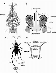 Antennal And Tympanal Audition In Insects    A   Mosquito