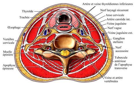 Kinking Carotide Interna Sintomi Anatomie De La Colonne Vert 233 Brale Biom 233 Canique De La