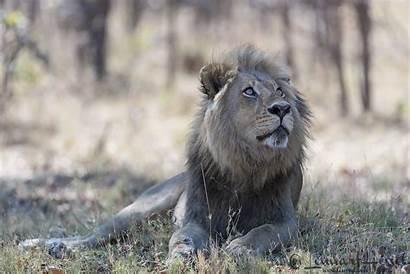 Wildlife Lion Looking Male Competition Lensman