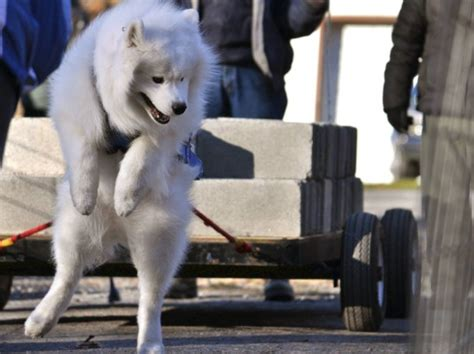 dog weight pulling record goldenacresdogscom