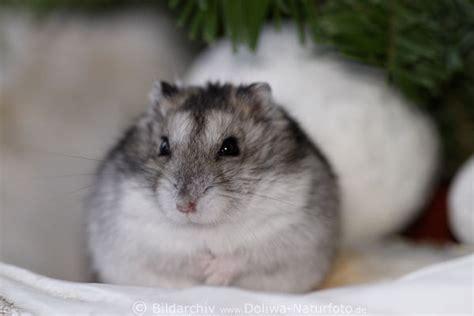 machen hamster winterschlaf hamster bilder niedliches nagetier s 252 sse schnauze portrait