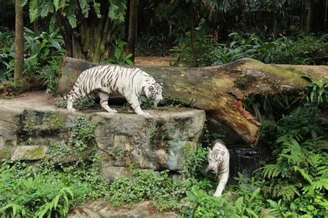 white zoo new stripes spots and a mane event at singapore zoo