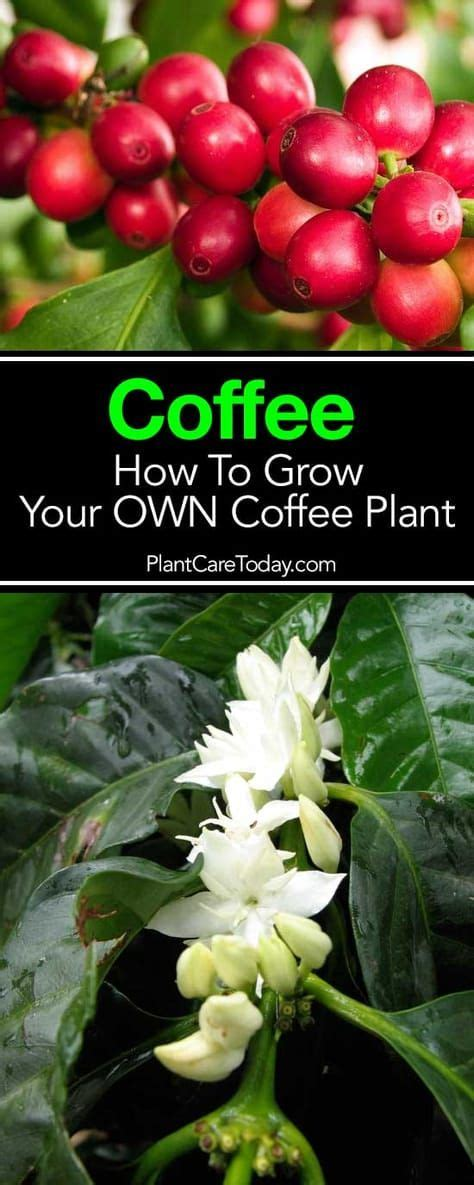 A comprehensive plant care guide for your money tree. Coffee Plant Care: Growing A Coffee Tree Indoors and Out GUIDE | Coffee plant, Plant care ...