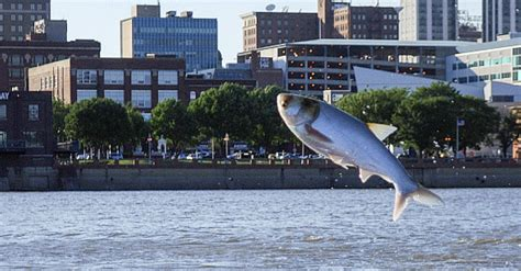 Asian Carp Attack Boat by When A Of Asian Carp Attack A Boat Of Rowers