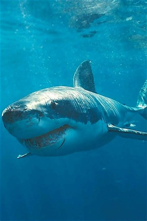 Wallpaper For by Iphonezone Shark Fish Iphone Wallpapers