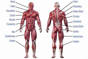 Human Muscular System Diagram Unlabeled