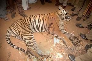 'Man-eating' tiger shot dead in India - Samaa TV