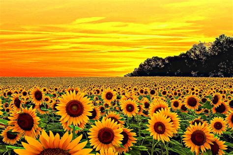 yellow aesthetic sunflower wallpapers wallpaper cave