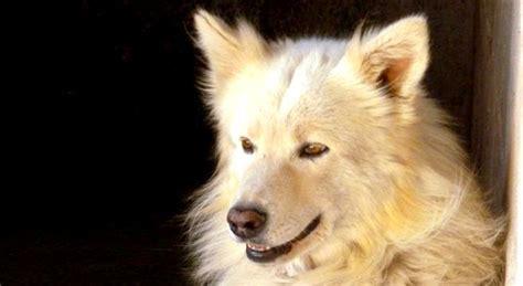 adozione cane incrocio pastore svizzero  cerca  casa